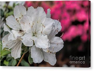 Canvas Print featuring the photograph Azaleas In Turtle Creek by Diana Mary Sharpton
