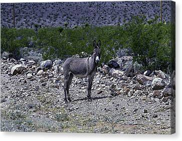 Azorina Donkey Canvas Print by Garry Gay