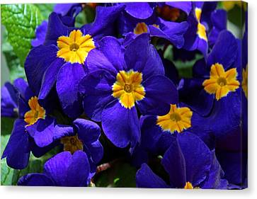 Canvas Print featuring the photograph Azure Primrose by Michiale Schneider