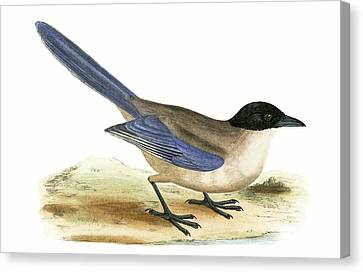 Magpies Canvas Print - Azure Winged Magpie by English School