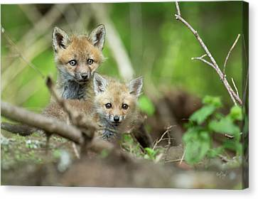 Fox Kit Canvas Print - Babes In The Woods by Everet Regal