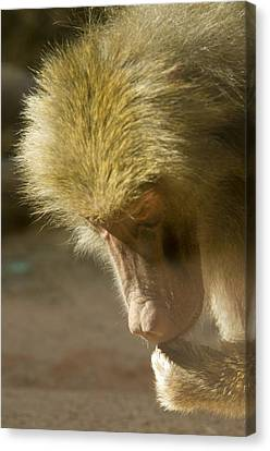 Baboon Craps Shooter Canvas Print by Richard Henne
