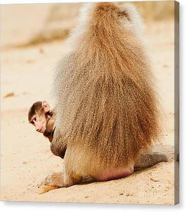 Baboon With A Baby  Canvas Print
