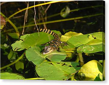 Baby Alligator Canvas Print by David Lee Thompson