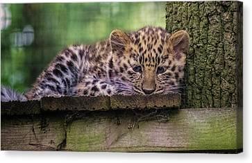 Baby Amur Leopard Canvas Print by Martin Newman