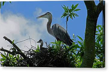 Baby And Mom Great Blue Heron Canvas Print by Judy Wanamaker