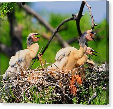 Baby Anhinga Chicks Canvas Print by Barbara Bowen