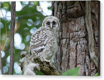 Baby Barred Owl Canvas Print