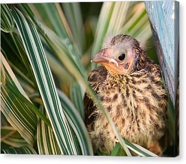 Baby Bird Peering Out Canvas Print by Douglas Barnett