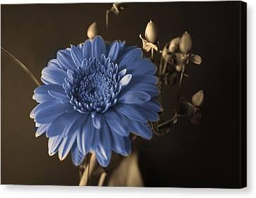Baby Blue Gerbera Canvas Print by Nancy TeWinkel Lauren