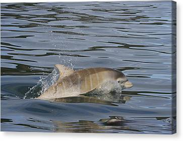 Baby Bottlenose Dolphin - Scotland  #35 Canvas Print