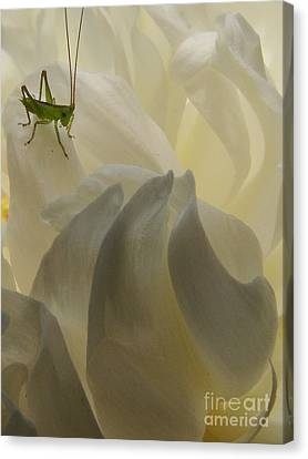 Baby Bud Canvas Print