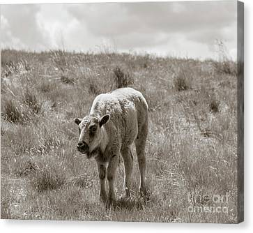 Canvas Print featuring the photograph Baby Buffalo In Field With Sky by Rebecca Margraf