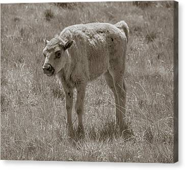 Canvas Print featuring the photograph Baby Buffalo by Rebecca Margraf