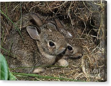 Baby Bunnies Canvas Print