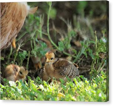 Baby Chick Canvas Print by Jeff Swan