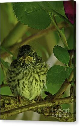 Canvas Print featuring the photograph Baby Chipping Sparrow  by Deborah Johnson