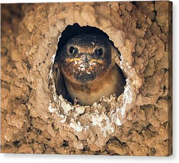 Baby Cliff Swallow Canvas Print by Loree Johnson