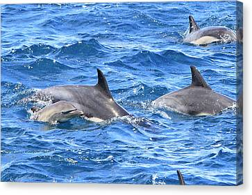 Baby Common Dolphin Canvas Print by Shoal Hollingsworth