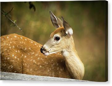Baby Deer Canvas Print