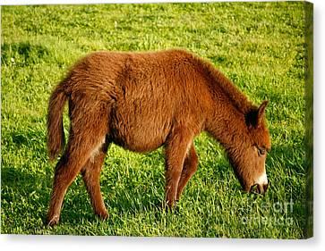 Baby Donkey Canvas Print by Gaspar Avila