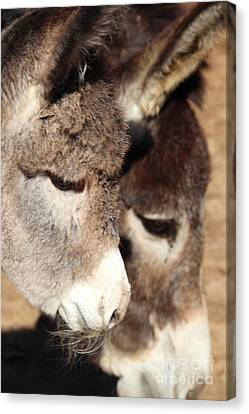 Baby Donkey Canvas Print by Pauline Ross