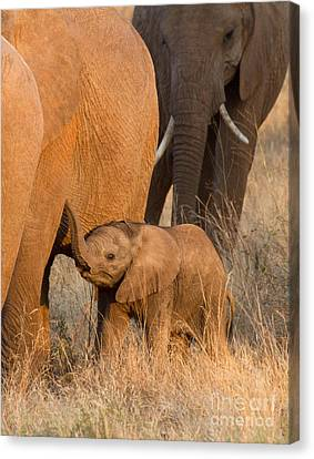 Baby Elephant 2 Canvas Print