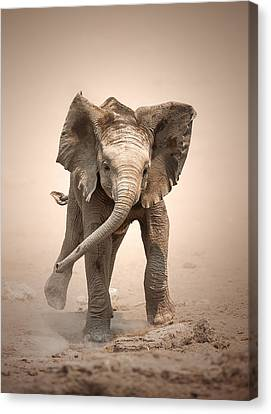 Baby Elephant Mock Charging Canvas Print by Johan Swanepoel