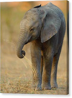 Baby Elephant Canvas Print by Happy Home Artistry