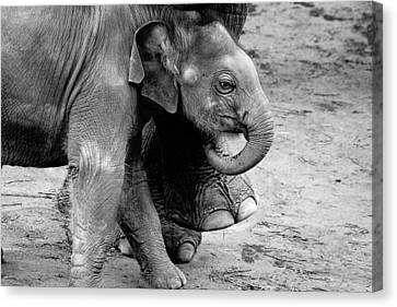 Baby Elephant Security Canvas Print