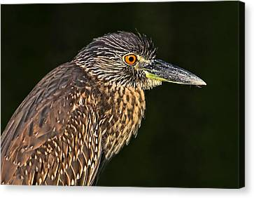 Baby Face - Yellow-crowned Night Heron  Canvas Print by HH Photography of Florida