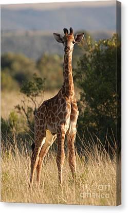 Baby Giraffe Canvas Print by Andy Smy