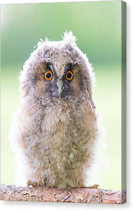 Baby Long-eared Owl Canvas Print by Janne Mankinen