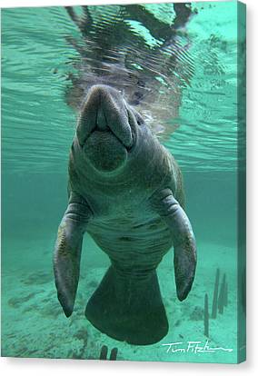 Baby Manatee Canvas Print by Tim Fitzharris