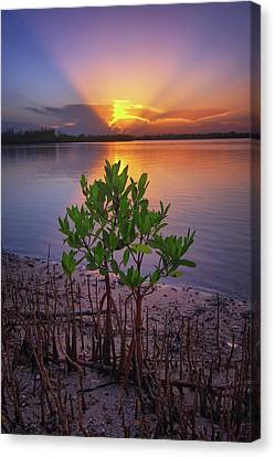 Baby Mangrove Sunset At Indian River State Park Canvas Print by Justin Kelefas
