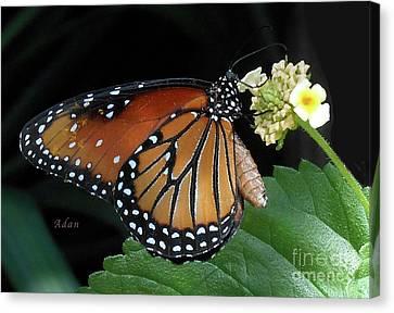 Baby Monarch Macro Canvas Print