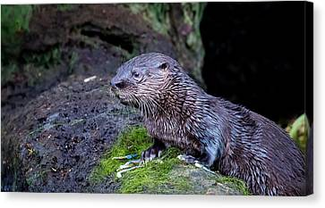 Canvas Print featuring the photograph Baby Otter by Kelly Marquardt