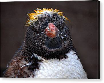 Baby Penguin Canvas Print by Rob Hawkins