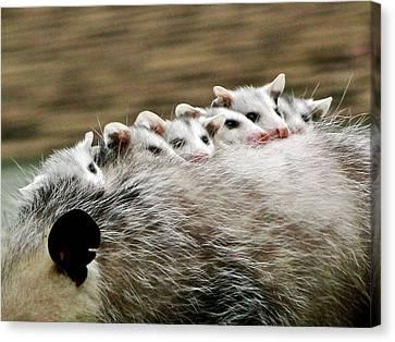 Baby Possums Canvas Print by Liz Vernand