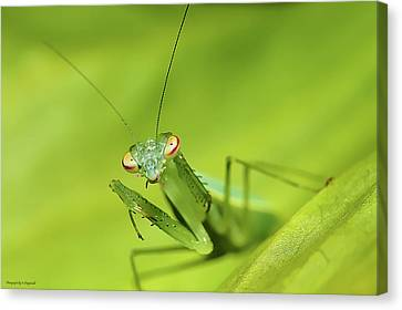 Baby Praymantes 6661 Canvas Print by Kevin Chippindall