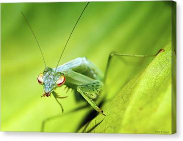 Baby Praymantes 6677 Canvas Print by Kevin Chippindall