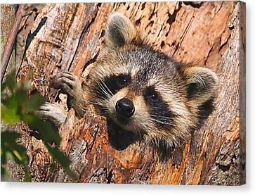 Baby Raccoon Canvas Print by William Jobes