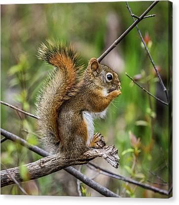 Baby Red Squirrel Portrait Canvas Print