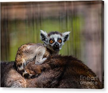 Baby Ring-tailed Lemur Canvas Print by CJ Park