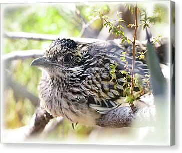 Baby Roadrunner  Canvas Print by Saija Lehtonen