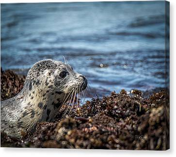 Baby Seal Canvas Print