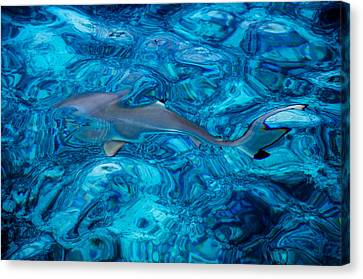 Baby Shark In The Turquoise Water. Production By Nature Canvas Print by Jenny Rainbow