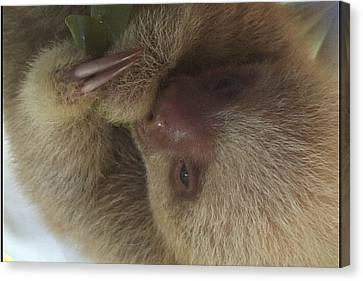 Baby Sloth Canvas Print by Gregory Young