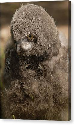 Canvas Print featuring the photograph Baby Snowy Owl by JT Lewis