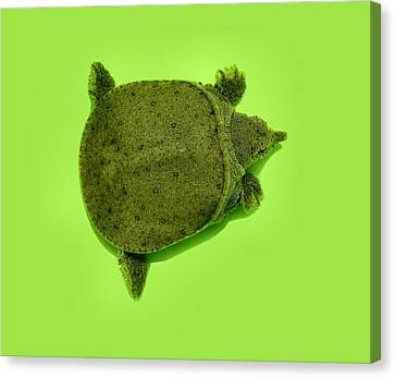 Baby Soft Shelled Turtle Canvas Print by Kathy Daxon